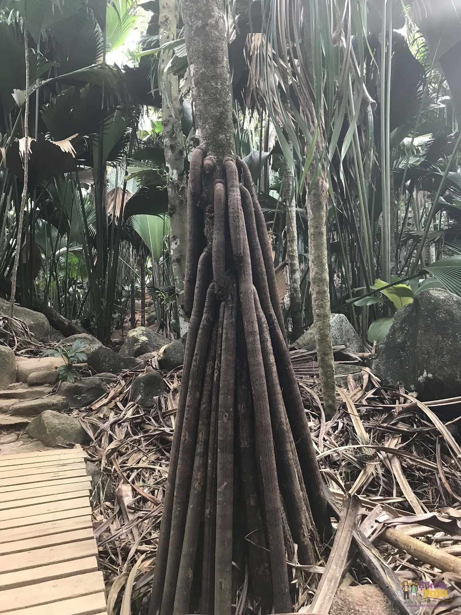 palm praslin valléee de mai