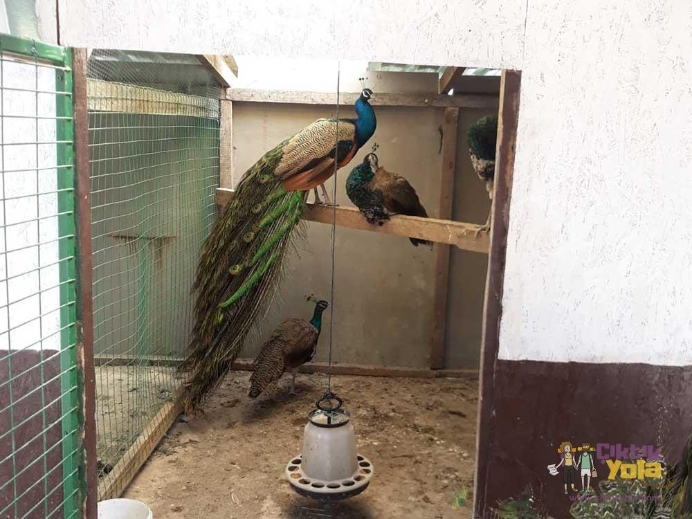 Tavus Kuşu